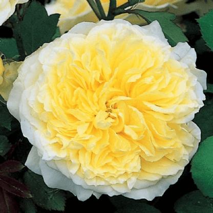 Роза Пилигрим (Pilgrim) купить, недорого, отзывы