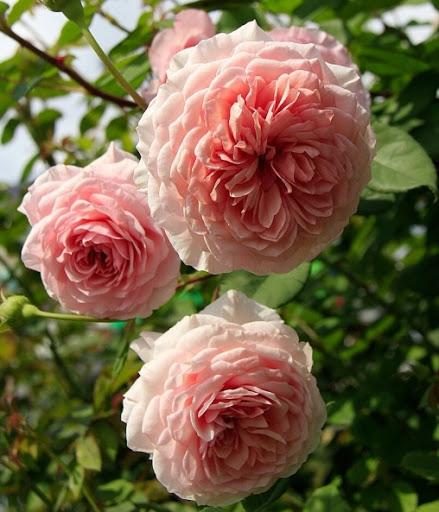 Роза Уильям Морис (William Morris) купить, недорого, отзывы