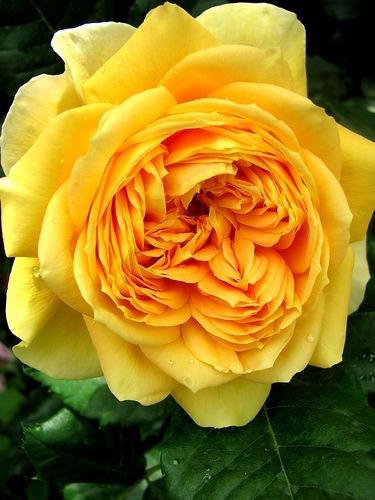 Роза 100 Идей Сада  (100 Idees Jardin, Golden Zest) купить, недорого, отзывы