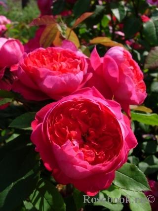 Роза Бенджамин Бриттен (Benjamin Britten) купить, недорого, отзывы