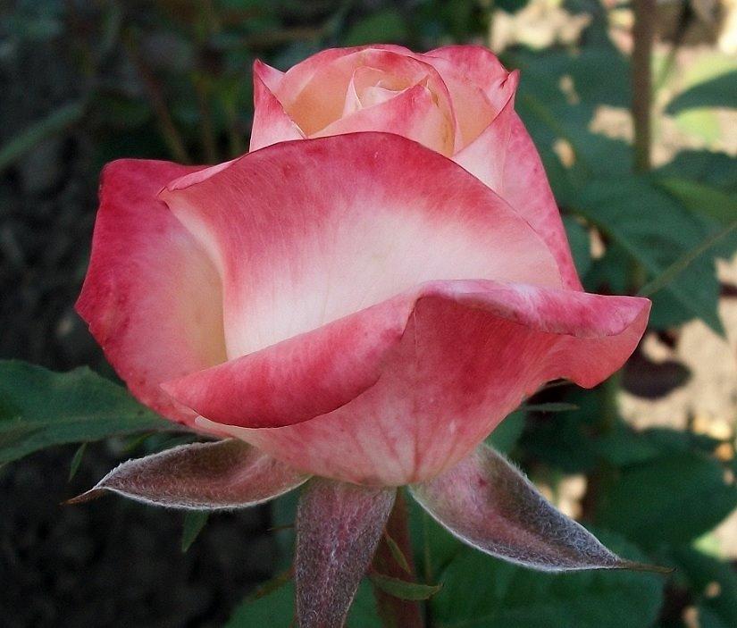 Роза Белла Перла (Belle Perle) купить, недорого, отзывы
