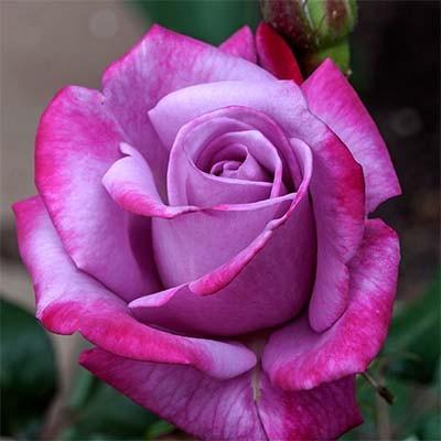Роза Парадиз (Paradise) купить, недорого, отзывы