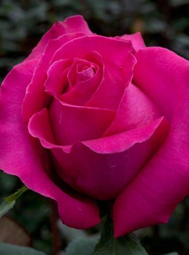 Роза Топаз (Topaz) купить, недорого, отзывы