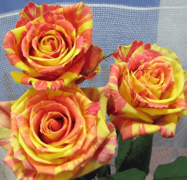 Роза Фиеста (Fiesta) купить, недорого, отзывы