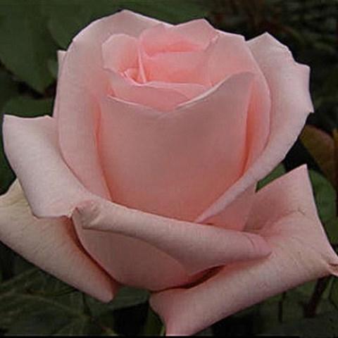 Роза Титаник купить, недорого, отзывы