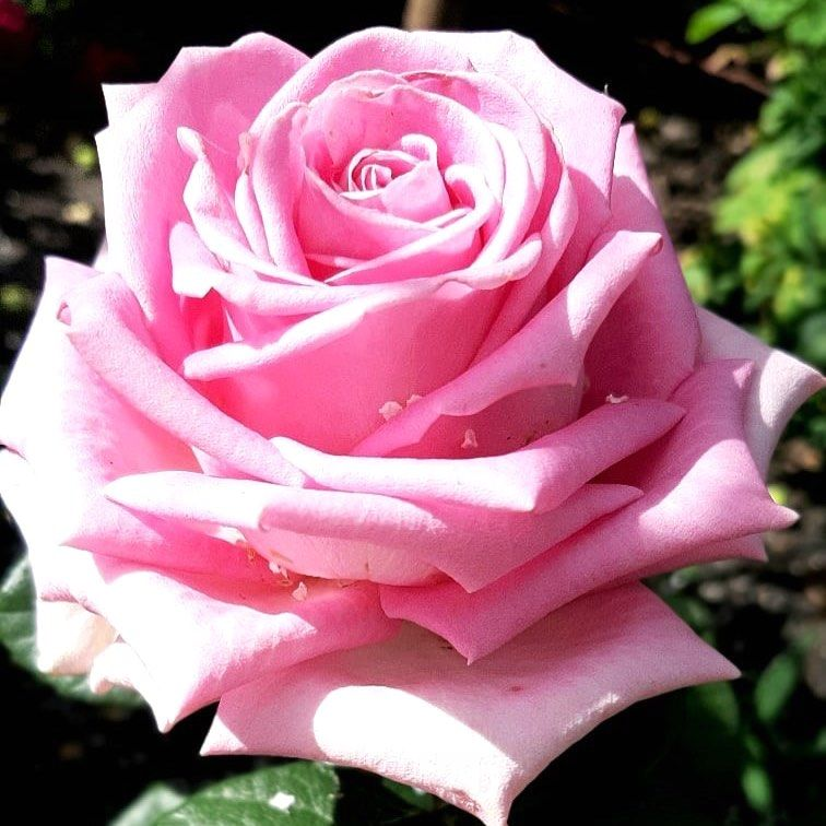 Роза Аква (Aqua) купить, недорого, отзывы
