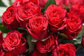 Роза Валентина (Valentino) купить, недорого, отзывы