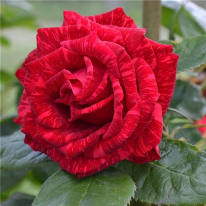 Роза Ред Интуишн (Red Intuition) купить, недорого, отзывы