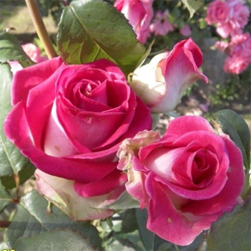 Роза Утро Парижа (Utro Parisa) купить, недорого, отзывы