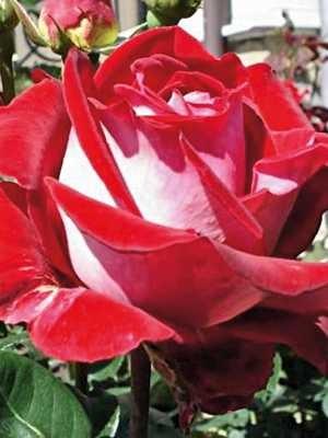 Роза Люксор (Luxor) купить, недорого, отзывы