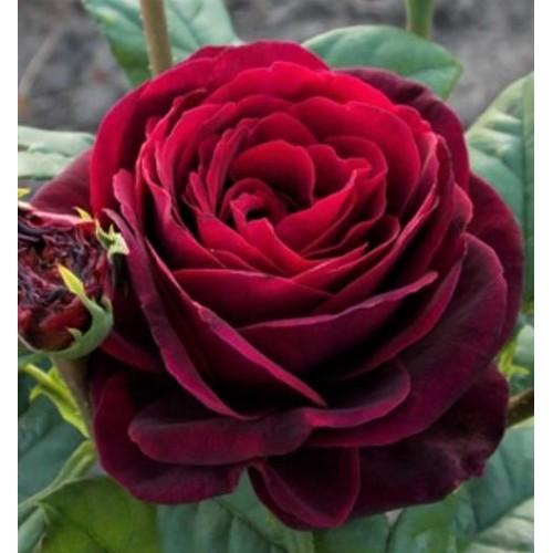 Роза Графиня Диана (Gräfin Diana) купить, недорого, отзывы