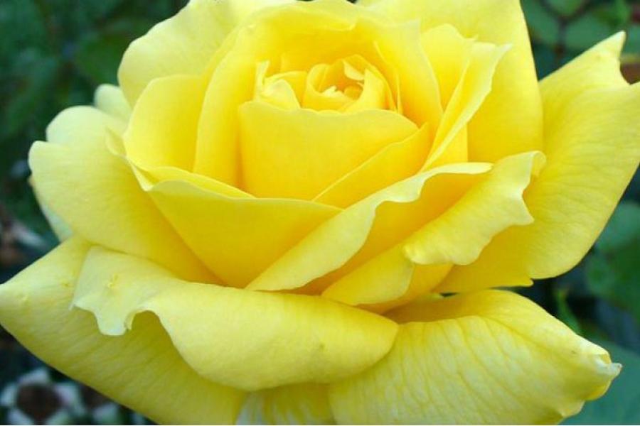 Роза Дэроль (Deyrolle) купить, недорого, отзывы