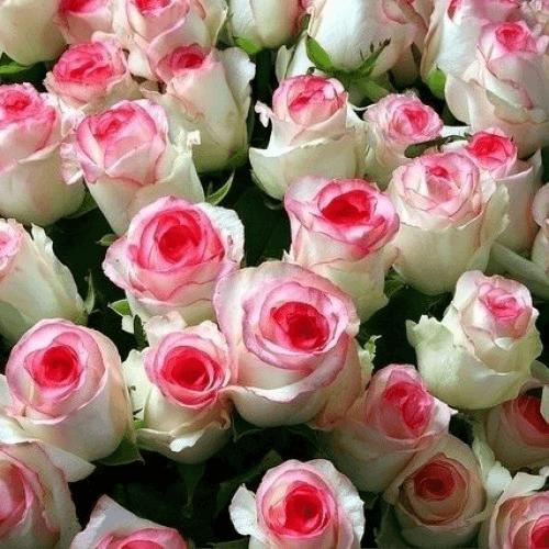 Роза Дольче Вита  2001(Dolce Vita) купить, недорого, отзывы