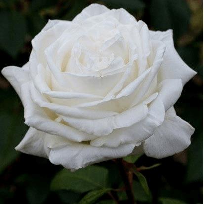 Роза Ломоносов  (Lomonossov) купить, недорого, отзывы