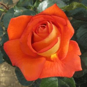 Роза Магдалена (Magdalena) купить, недорого, отзывы