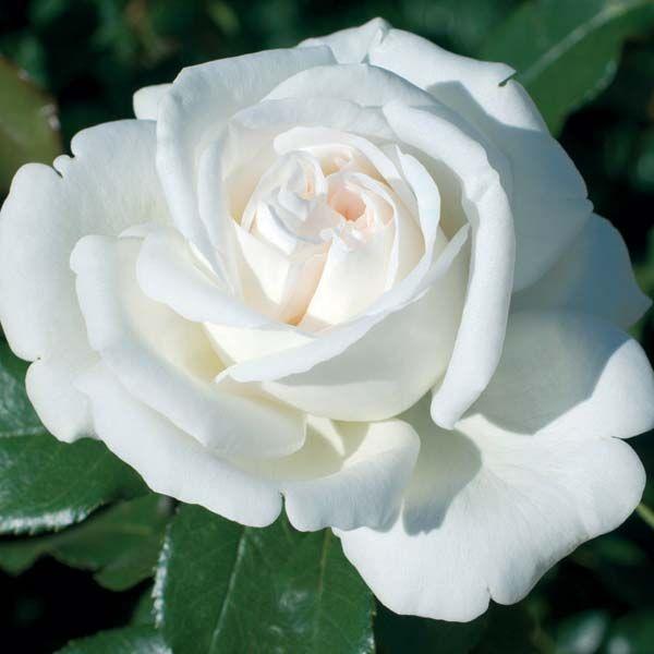 Роза Метрополитен (Metropolitan) купить, недорого, отзывы