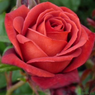 Роза Терракотта (Terracotta) купить, недорого, отзывы