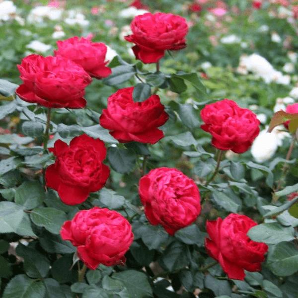 Роза Травиата (Traviata) купить, недорого, отзывы