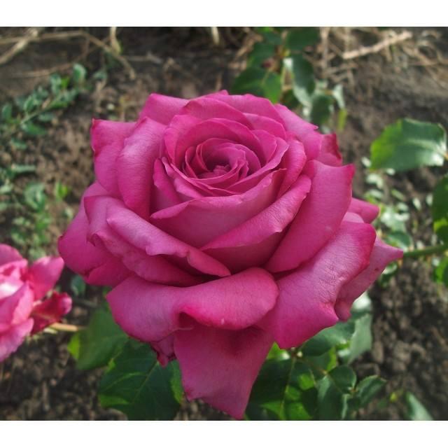 Роза КЛОД БРАСС (Claude Brasseur) купить, недорого, отзывы