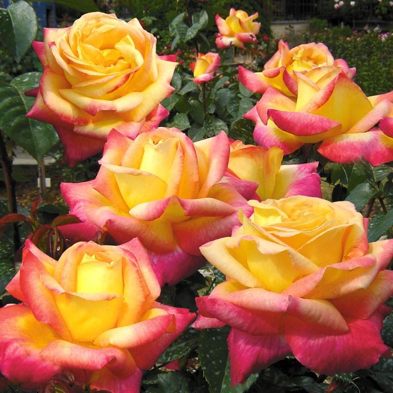 Роза Восточный экспресс (Pullman orient express) купить, недорого, отзывы