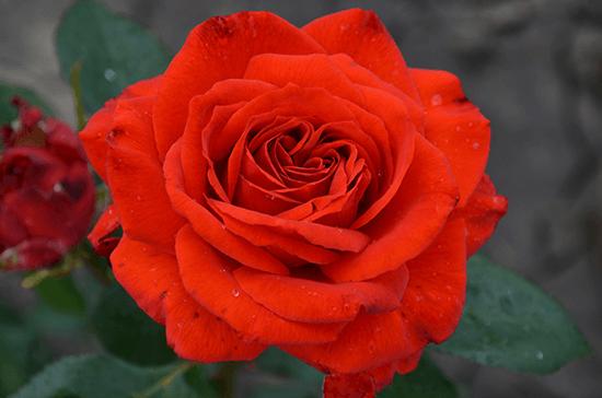 Роза Рабле (Rabelais) купить, недорого, отзывы