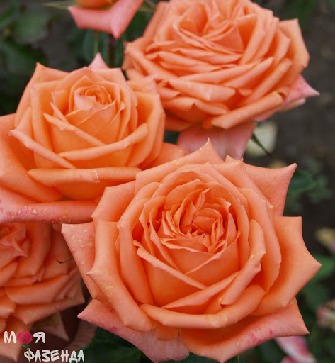 Роза Эльдорадо (Eldorado) купить, недорого, отзывы