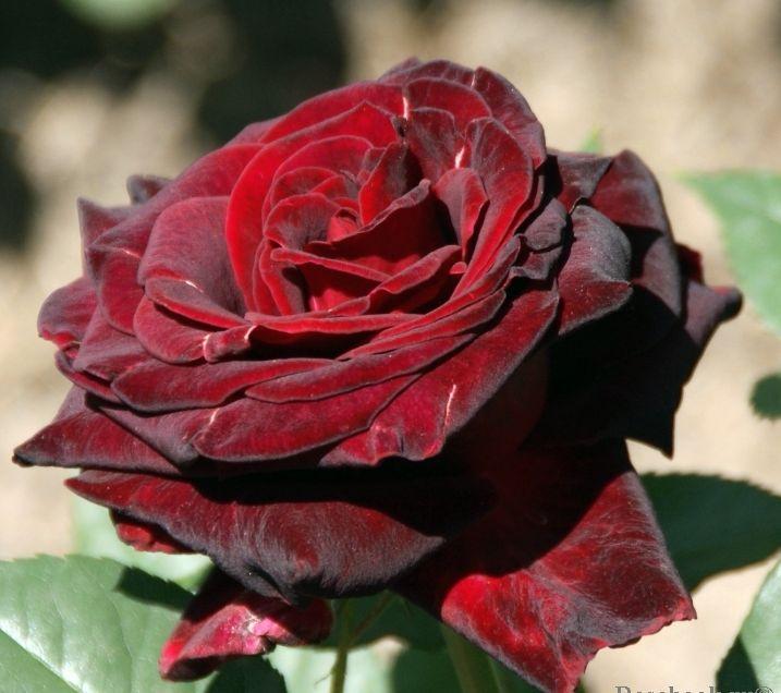 Роза Блек Баккара (Black Baccara) купить, недорого, отзывы