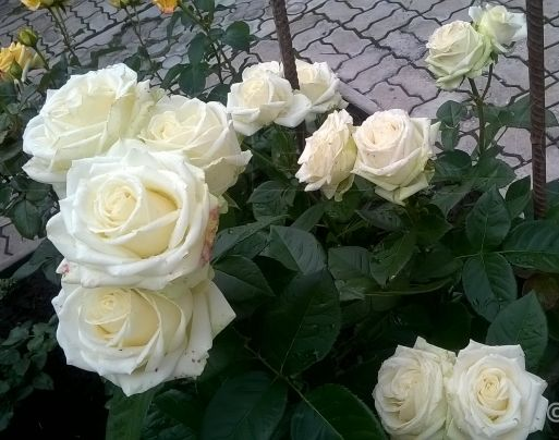 Роза Маруся (Maroussia) купить, недорого, отзывы