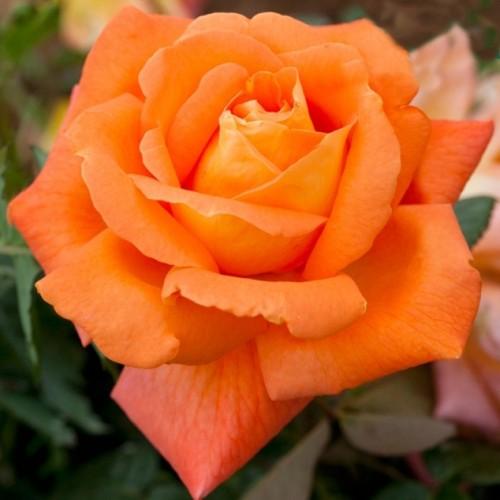 Роза Луи де Фюнес (Louis de Funes) купить, недорого, отзывы