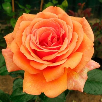 Роза Ашрам (Ashram) купить, недорого, отзывы