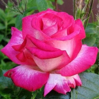 Роза Инджой (Enjoy) купить, недорого, отзывы