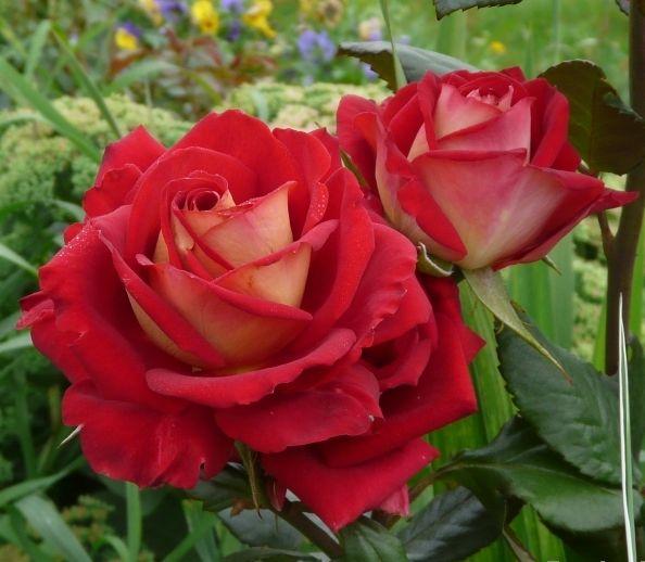 Роза Кроненбург (Kronenbourg) купить, недорого, отзывы