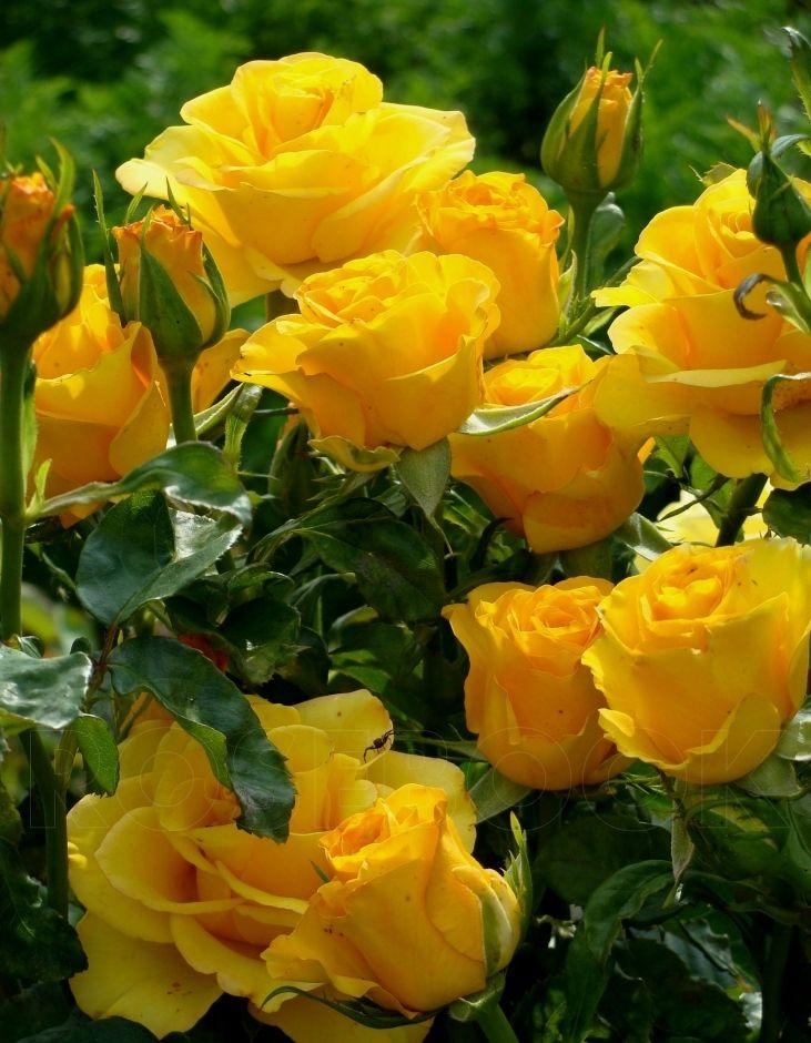 Роза Керио (Kerio) купить, недорого, отзывы