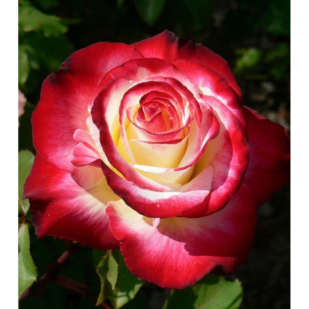 Роза Дабл Делайт (Double Delight) купить, недорого, отзывы
