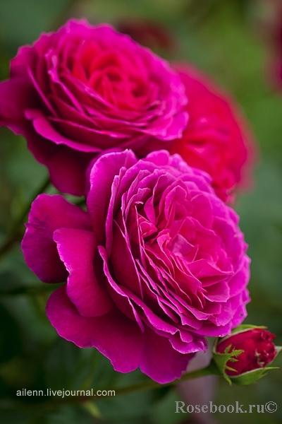 Роза  Юрианда (Yrianda) купить, недорого, отзывы