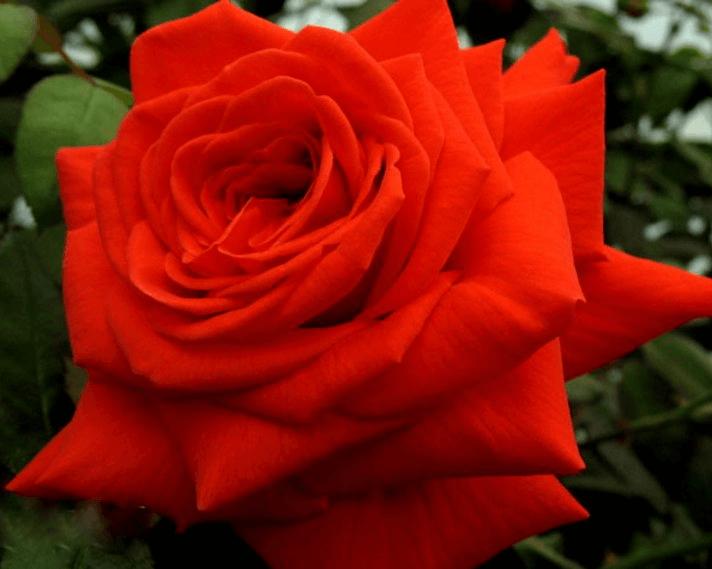 Роза Салита (Salita) купить, недорого, отзывы