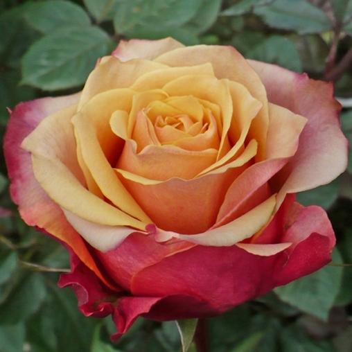 Роза Черри Бренди (Cherry Brandy) купить, недорого, отзывы