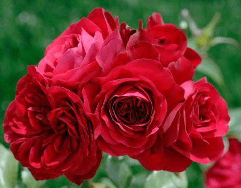 Роза Нахеглут (Naheglut) купить, недорого, отзывы