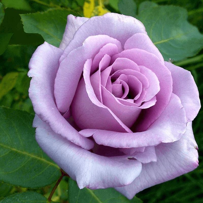 Роза Блю Леди (Blue Lady) купить, недорого, отзывы