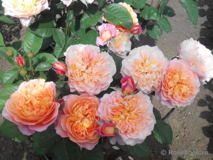 Роза Импрессионист (Impressionist) купить, недорого, отзывы