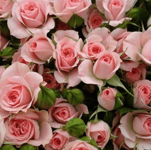 Роза Грация (GRACIA) купить, недорого, отзывы