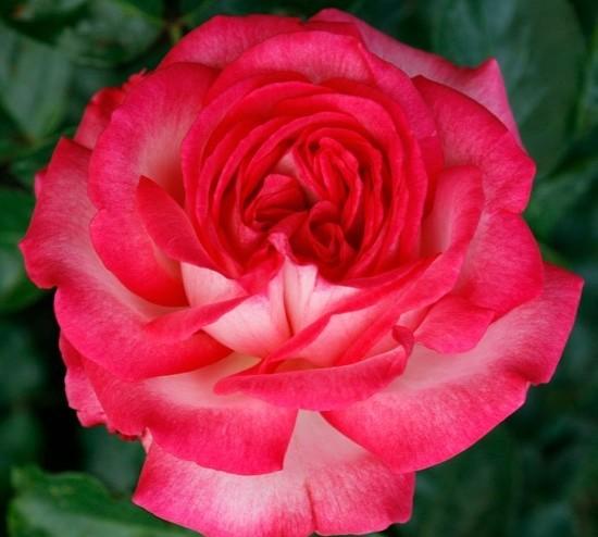 Роза Антик (Antike) купить, недорого, отзывы