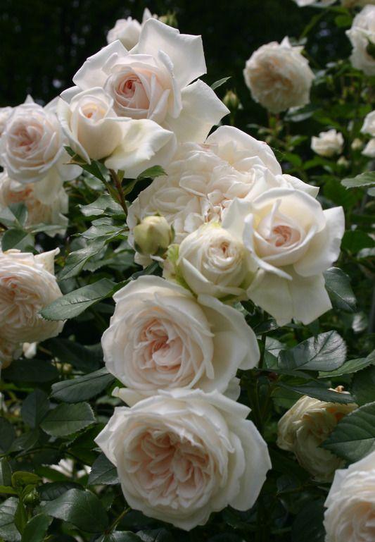 Роза Ванилла (Vanilla) купить, недорого, отзывы