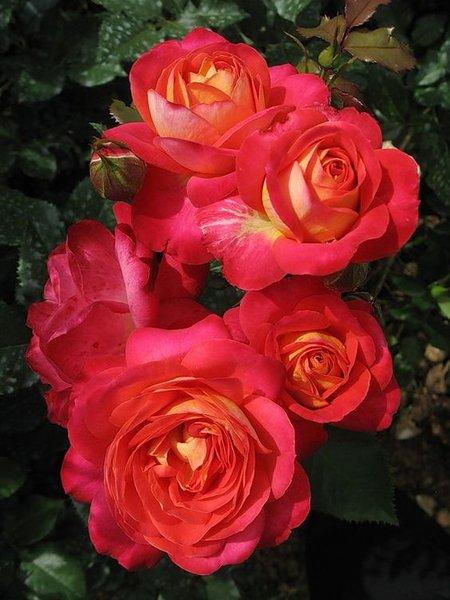 Роза Мидсаммер (Midsummer) купить, недорого, отзывы