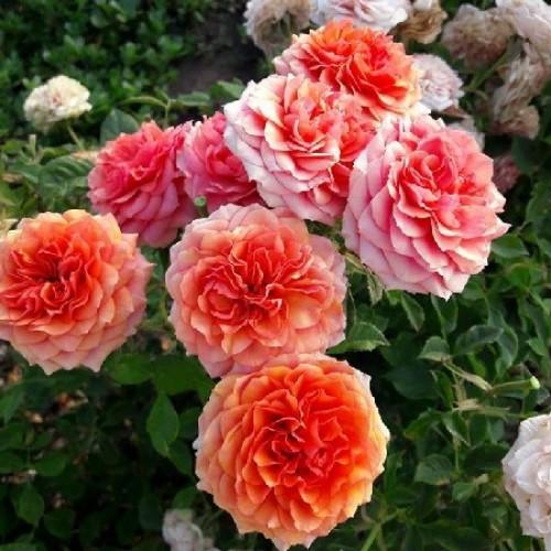 Роза Роза Тереса (Teresa) купить, недорого, отзывы
