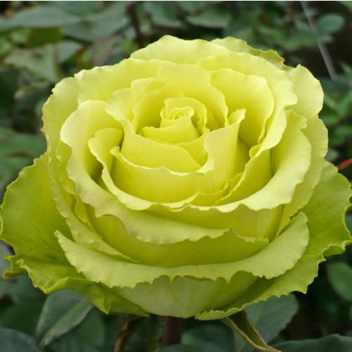 Роза Зеленая планета  (Green Planet) купить, недорого, отзывы