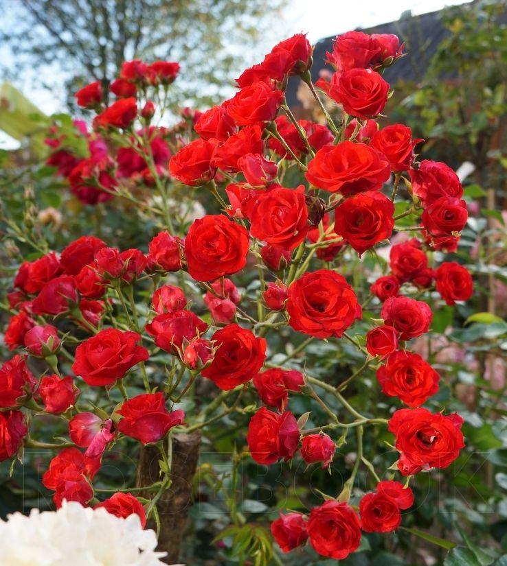 Роза Скарлет Меландекор (Scarlet Meillandecor) купить, недорого, отзывы