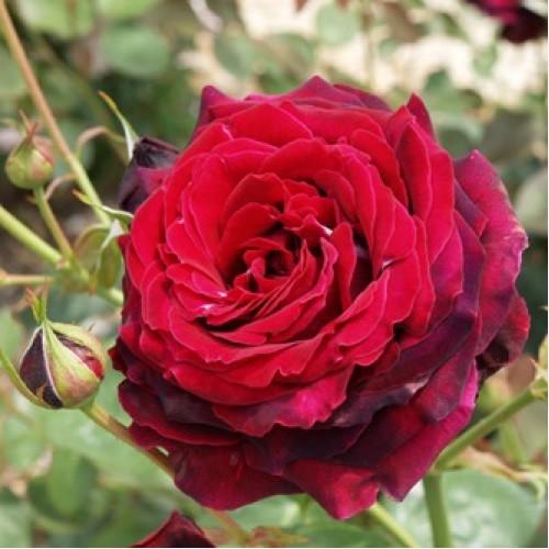 Роза Норита (Norita) купить, недорого, отзывы