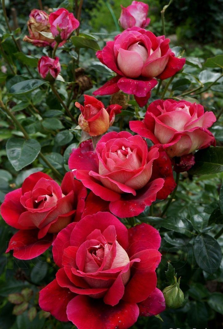 Роза Фантазия  (Fantasia) купить, недорого, отзывы