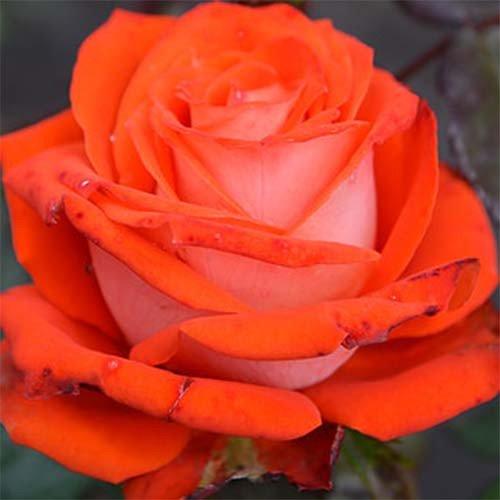 Роза  Верано (Verano) купить, недорого, отзывы
